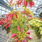 Clemson horticulture students' poinsettias on display in R.M. Cooper Library