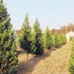 South Carolina's Christmas tree farmers have plenty of reasons to feel festive